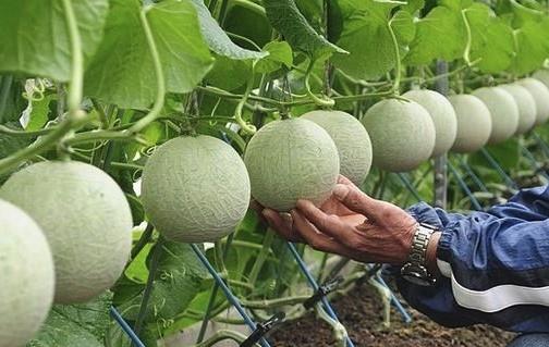 el melon mas caro del mundo el melon yubari